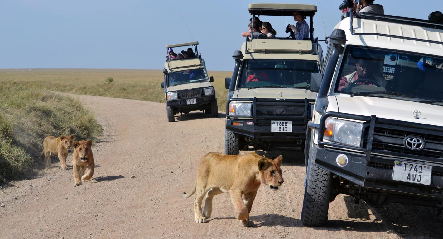 Students observing female lions running along the road from their vehicles